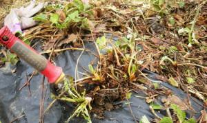 Фото прополки сорняков на грядках клубники, orchardo.ru