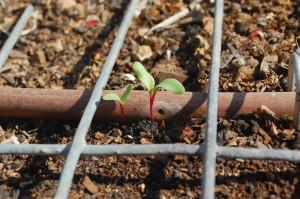 На фото - ростки семян свеклы, yana-zinigrad.livejournal.com
