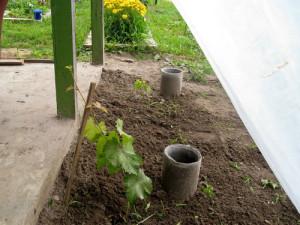 Фото посадки черенка винограда около асбестовой трубы, vinograd.by