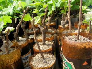 Фото укоренения черенков винограда, groni.ru