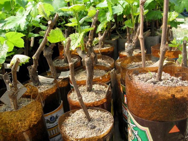 видеоуроки заготовка черенков винограда