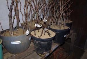На фото - хранение черенков винограда в песке, vinograd-is.ru