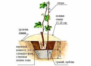 На фото - дренаж для посадки саженца винограда, supermamki.ru