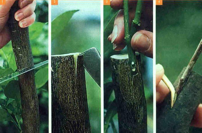 Весенняя прививка плодовых деревьев – что нужно знать садоводу?