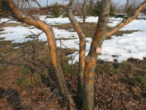 На фото - поврежденное грызунами плодовое дерево, darzs.lv