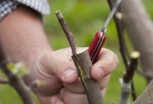 Фото пересадки привоя на подвой плодового дерева, liveinternet.ru