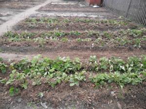 На фото - мульчирование клубники хвоей на зиму, vkusniogorod.blogspot.com