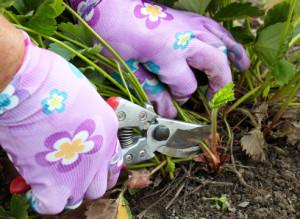 Фото удаления листьев клубники после зимы, supersadovnik.ru