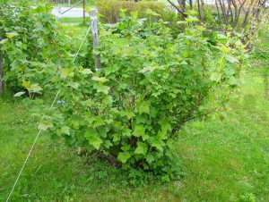 На фото - кусты смородины после сбора урожая, ogorodsadovod.com