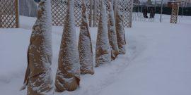 Укрытие хвойников на зиму – надо елочку согреть!