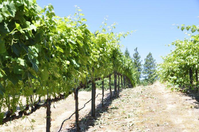 Посадка винограда летом – от ямы до последней горсти земли