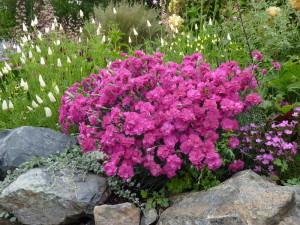 На фото - махровые соцветия перистой гвоздики, greendesigntbilisi.blogspot.com