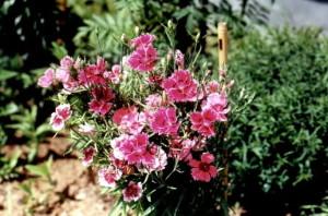Фото китайской гвоздики, flower.onego.ru