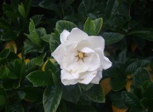 Фото цветения гардении, sochiru.com