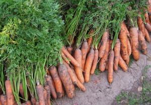 Морковка для здоровья – что содержит корнеплод? фото