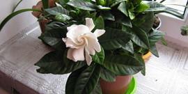 Цветок гардения – уход и особенности выращивания