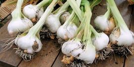 Озимый чеснок – выбираем сорта для посадки на зиму