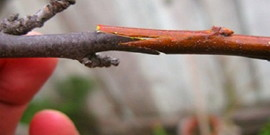 Методы прививки деревьев – выбираем подходящий