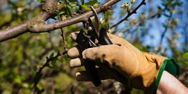 Обрезка яблонь летом – обрезаем молодые и старые растения