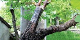 Прививка винограда летом – возвращаем растению силу и иммунитет