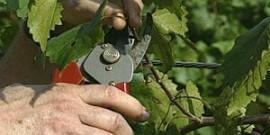 Уход за виноградом летом – чем занимается заботливый садовод?