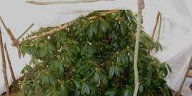 Рододендрон – укрытие на зиму и частые ошибки хозяек