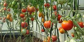 Выращивание помидоров в домашних условиях – мини-огород на окне