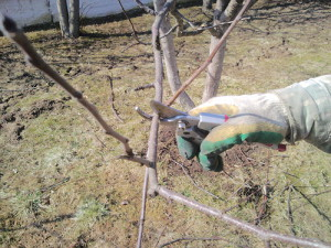 На фото - вырезание лишних ветвей яблони, mirsada.kiev.ua