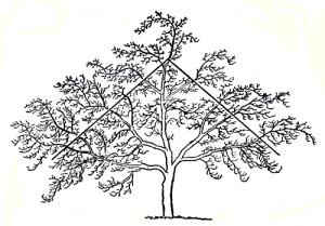 Фото щадящего формирования кроны яблони, plodovie.ru