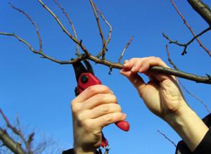 На фото - инструмент для обрезки яблони, derevoved.com