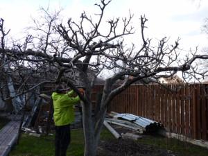 Фото омолаживающей обрезки старой яблони, sadovodka.ru