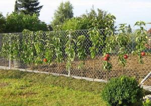 Фото колоновидных яблонь, sib-sad.info