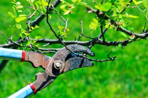 Обрезка деревьев летом – достоинства и недостатки