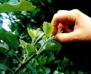 Пинцировка летом – корректирующая обрезка плодовых деревьев