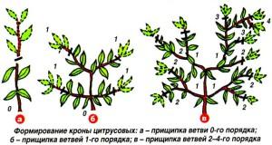 Пинцировка летом – корректирующая обрезка плодовых деревьев фото