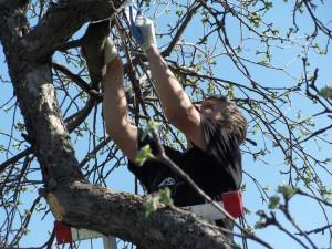 Пасынкование и наклон ветвей – полезные приемы