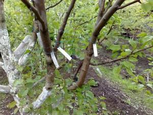 Преимущества окулировки плодовых деревьев