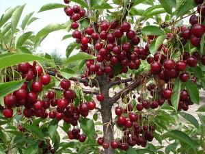 Фото хорошего урожая черешни, vk.com