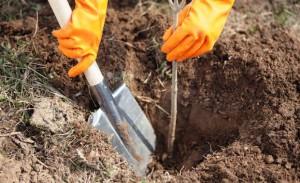 Фото посадки вишни, osurgut.com