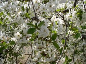 Фото цветущего вишневого дерева, weerkust.ru