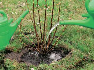 Фото посадки красной смородины, greensad.com.ua