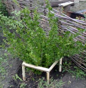 На фото - подпорка веток красной смородины, karlo335.wordpress.com