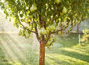 Уход за грушей – секрет хорошего урожая