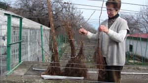 Фото выбора здоровых саженцев винограда, vinograd.info