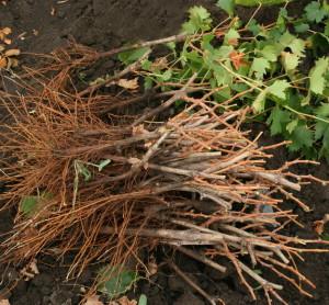 На фото - корневая система саженца винограда, floranova.com.ua