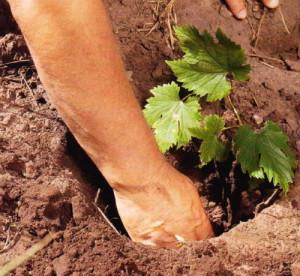 Фото размещения саженца винограда в посадочной яме, foflowers.ru