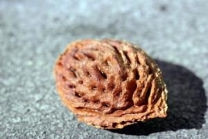 Фото просушенной косточки персика для посадки в открытый грунт, ayanna.uol.ua