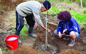 На фото - посадка деревца персика, greensad.com.ua