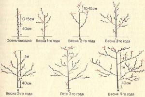 На фото - формирование кроны персика, greenrussia.ru