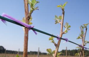 На фото - натягивание шпалеры между кустами малины, asprus.ru
